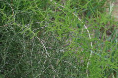 Wild asparagus plant Stock Image