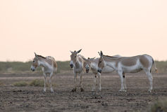 Wild ass. Is endemic to Little runn of kutch in Gujrat state of India Stock Image