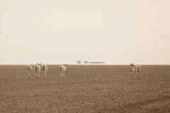 Wild ass in the desert little rann of kutch Royalty Free Stock Image