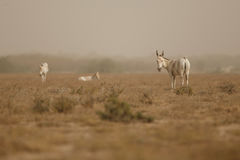 Wild ass in the desert little rann of kutch Royalty Free Stock Photography