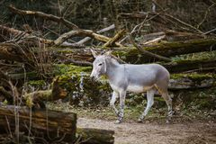 Wild gray donkey with white stripes walks, moves among trees, on its territory in the zoo royalty free stock images