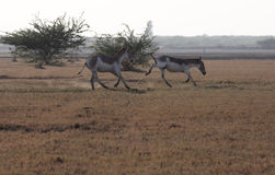 Wild Ass. In Little Rann of Kutch, India Royalty Free Stock Photo