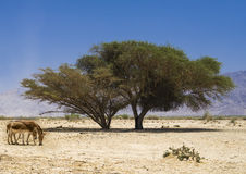 Wild ass Onager in nature reserve, Israel Royalty Free Stock Photos