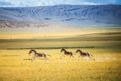 Wild running on the grassland stock photo