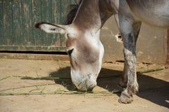 Wild donkey royalty free stock photos