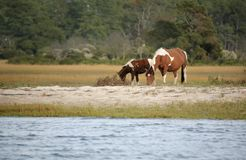 Wild Assateague ponies Royalty Free Stock Image