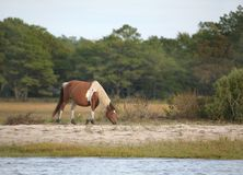 Wild assateague pony Stock Photos