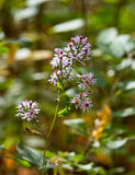 Wild aster flowers Royalty Free Stock Image