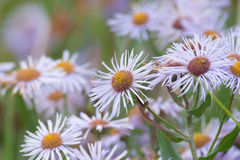Wild Asters Royalty Free Stock Photography