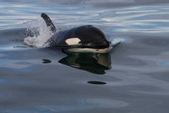 wild Atlantic Ocean orca Arkivfoton