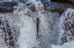 Wild Atlantic Salmon. Traveling up river in Iceland Stock Image