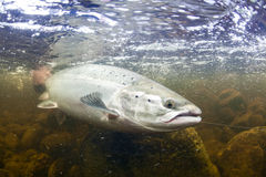 Wild Atlantic Salmon underwater Royalty Free Stock Photos