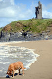 Wild atlantic way castle and dog Royalty Free Stock Images