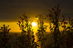Wild atlantic way sunset through wild flowers Royalty Free Stock Photography