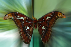 Wild Atlas Moth. A giant live wild atlas moth in a virgin forest of Temenggor, Malaysia Stock Photography