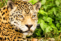 Wild Attentive Jaguar Headshot Stock Photo