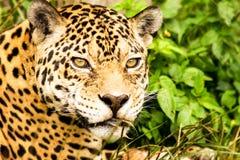 Wild Attentive Jaguar Headshot. Jaguar Headshot From Close Range Stock Photo