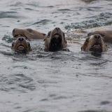 Wild auf Tuleniy-Insel nahe Sachalin Lizenzfreies Stockfoto