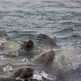 Wild auf Tuleniy-Insel nahe Sachalin Stockfoto