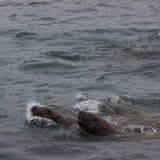 Wild auf Tuleniy-Insel nahe Sachalin Stockbild