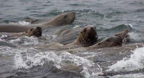 Wild auf Tuleniy-Insel nahe Sachalin Lizenzfreies Stockbild