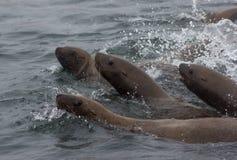 Wild auf Tuleniy-Insel nahe Sachalin Stockfotografie