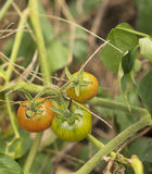 Wild Australian bush tomatoes ripening on vine Stock Photography