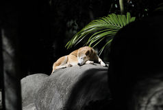 Wild australian dingo sunbaking, fraser island, queensland, aust Stock Image