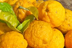 Wild Australian Native Bush Lemons. Freshly picked wild australian native bush lemons Citrus limon Stock Images