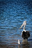 Wild Australian Pelican Royalty Free Stock Photography