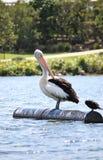 Wild Australian Pelican Stock Photos