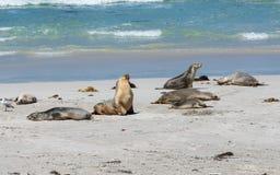 Wild Australian sea lions or Neophoca cinerea at seal bay on Kangaroo Island SA Australia stock photo