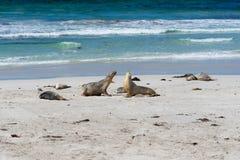 Wild Australian sea lions or Neophoca cinerea at seal bay on Kangaroo Island SA Australia royalty free stock image