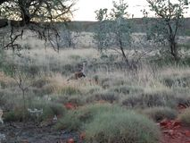 Wild Australian Turkey or Bustard, Well Camoflaged in the Spinifex. royalty free stock image