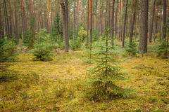 Wild autumn coniferous forest reserve. Nature of evergreen conif Stock Image