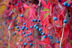 Wild autumn grapes stock photography