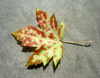 Wild Autumn Maple Leaf. A single maple leaf in autumn colors Royalty Free Stock Image