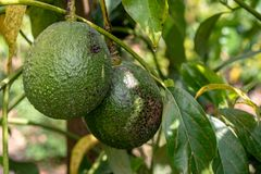 Wild avocado fruits. At the Golan Heights stock image