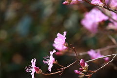 Wild azalea. In the district stroll, see a look very soft flowers, petals very thin, looks gently, it seems that a gust of wind can blow away, always feel a bit Royalty Free Stock Image