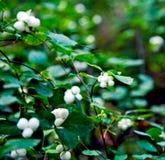 Wild bär Royaltyfria Bilder