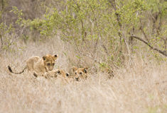 Wild babies lions playing, Kruger national park, SOUTH AFRICA Royalty Free Stock Photos