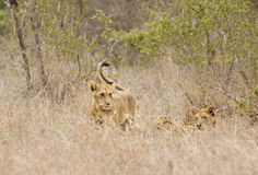 Wild babies lions playing, Kruger national park, SOUTH AFRICA Stock Image