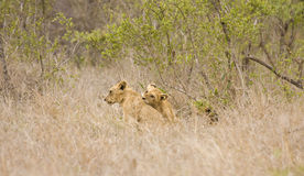Wild babies lions playing, Kruger national park, SOUTH AFRICA Stock Images