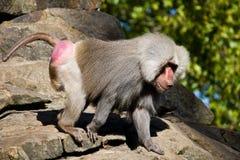 Wild baboon Royalty Free Stock Photo