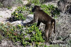 Native Baboon, Cape of Good Hope, South Africa. Wild Baboon at Cape of Good Hope, South Africa.Baboons are Old World monkeys belonging to the genus Papio, part royalty free stock image