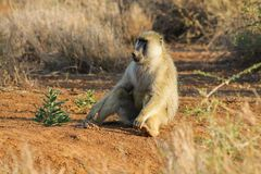 Baboon monkey in Africa wildlife stock photo