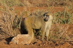 Baboon monkey in Africa wildlife stock photos