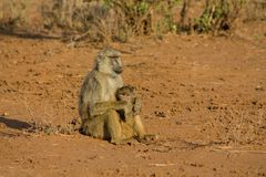 Baboon monkey in Africa wildlife royalty free stock photo
