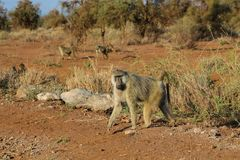 Wild baboon monkey in Africa nature wildlife. African wildlife primate animal monkey walks stock images