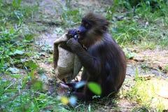 wild baboon monkey stock photography
